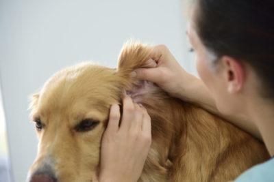 Cane acari orecchio