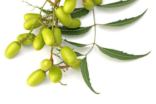 Neem frutti e foglie
